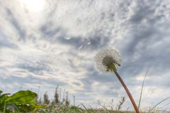 Seeds flying away from Dandelion Stock Images