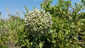 Seeds of garlic Royalty Free Stock Image