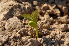 Seeds germinate Royalty Free Stock Image