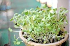 Seeds germinate Royalty Free Stock Photos