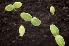 From seeds grown young seedlings. Royalty Free Stock Image