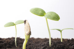 From seeds grown young seedlings. Stock Photo