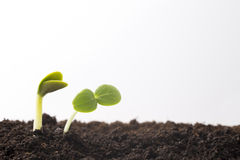 From seeds grown young seedlings. Royalty Free Stock Photo
