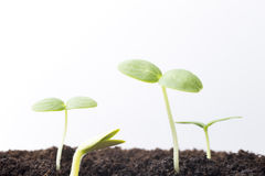 From seeds grown young seedlings. Royalty Free Stock Images