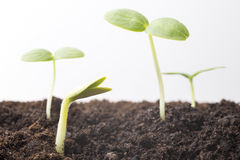 From seeds grown young seedlings. Royalty Free Stock Photography