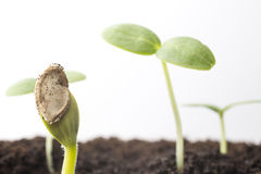 From seeds grown young seedlings. Stock Photos
