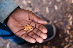 Seeds in Hand Royalty Free Stock Photo