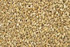 Seeds of hard wheat Stock Photos