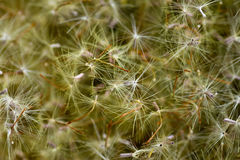 Seeds of helichrysum Royalty Free Stock Photography