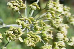 Seeds of the Heracleum sphondylium. Stock Images
