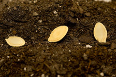 Seeds Laying In Soil Close Up. Horizontal shot of seeds laying in the soil and ready to cover, water and start growing Stock Image