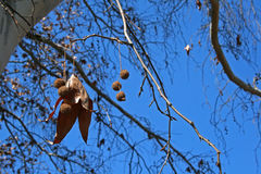 SEEDS AND LEAF ON PLANE TREE Stock Photos