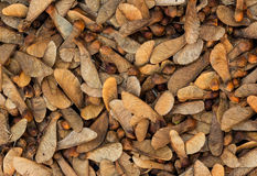 Seeds Manitoba Maple Royalty Free Stock Photography