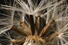 Seeds of a meadow-rue. Close-up of the mellow seeds of a meadow-rue Stock Photography