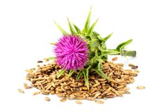 Seeds of a milk thistle with flowers Silybum marianum, Scotch T. Histle, Marian thistle Isolated on white closeup stock photography