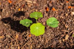 From seeds the nasturtium`s are growing larger. Must be the fertilizer royalty free stock photography