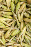 Seeds of oats Stock Photo