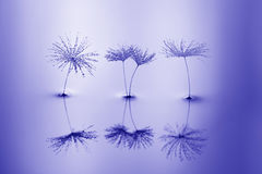 Free Seeds Of Dandelion In Water With Reflection. Macro With Dandelions. Stock Image - 94791161