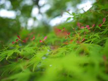 Seeds Of Japanese Maple Stock Images