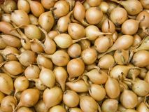 Seeds of an onions Royalty Free Stock Image