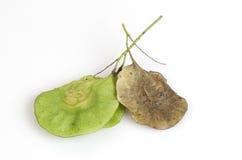 Seeds Padauk (thai name) (Pterocarpus indicus). Royalty Free Stock Photography