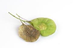 Seeds Padauk (thai name) (Pterocarpus indicus). Royalty Free Stock Photos