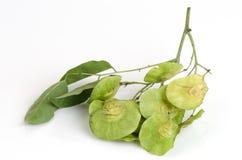 Seeds Padauk (thai name) (Pterocarpus indicus). Stock Photo