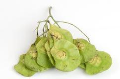Seeds Padauk (thai name) (Pterocarpus indicus). Stock Image