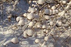 Seeds physocarpus kalinolistnogo (Physocarpus opulifolius) in the snow. Russia. Russia. Seeds physocarpus kalinolistnogo (Physocarpus opulifolius) in the snow Royalty Free Stock Image