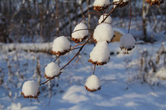 Seeds physocarpus kalinolistnogo (Physocarpus opulifolius) in the snow. Russia. Russia. Seeds physocarpus kalinolistnogo (Physocarpus opulifolius) in the snow Royalty Free Stock Photography