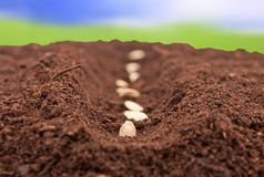Seeds planted in the ground. Seeds planted in fertile soil Royalty Free Stock Photo