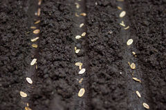 Seeds planted in the ground Royalty Free Stock Photos