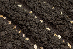 Seeds planted in the ground Stock Images