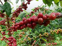 The seeds of the red flag. A ripe red coffee beans Wait for the harvest Royalty Free Stock Photography