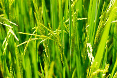 Seeds of rice close-up Royalty Free Stock Photography