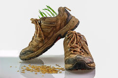 The seeds rice growth in the old shoe Royalty Free Stock Photo