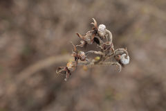 The seeds of rose hips. Dried rose hips on a branch Royalty Free Stock Image