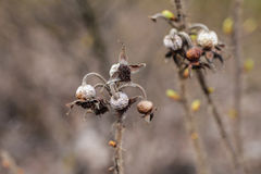 The seeds of rose hips. Stock Images