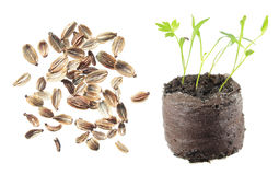 Seeds and seedling of lovage isolated on white background Stock Photo