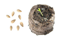 Seeds and seedling of Melothria scabra Royalty Free Stock Photography