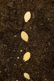 Seeds In Soil Close Up. Vertical close up shot of seeds laying in soil and ready to start growing Stock Photo