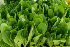 Seeds of spinach, beautiful plant for salads Stock Images
