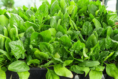 Seeds of spinach, beautiful plant for salads Stock Photo