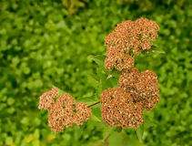 Seeds of spirea Royalty Free Stock Photography