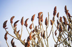 Seeds of Sumac (or Rhus) Stock Photography