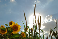 Seeds and sun. Sunflower and millet in the plantation stock images
