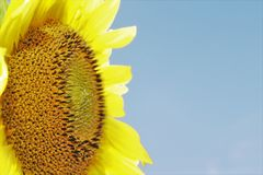 Seeds of sunflower. In the summer at the field Royalty Free Stock Images