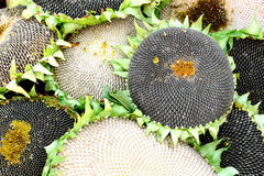 Seeds on sunflowers Stock Photos
