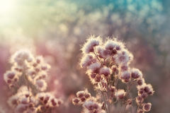 Seeds of thistle - burdock Royalty Free Stock Image