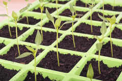 Seeds tray closeup over white Royalty Free Stock Images